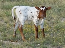 Freckles' Steer Calf II