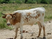Lace's Steer Calf